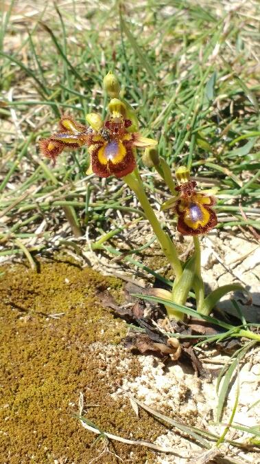 Ophrys speculum  - Aymeric Brissaud
