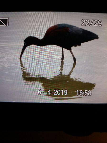 Glossy Ibis  - Bassano Riboni