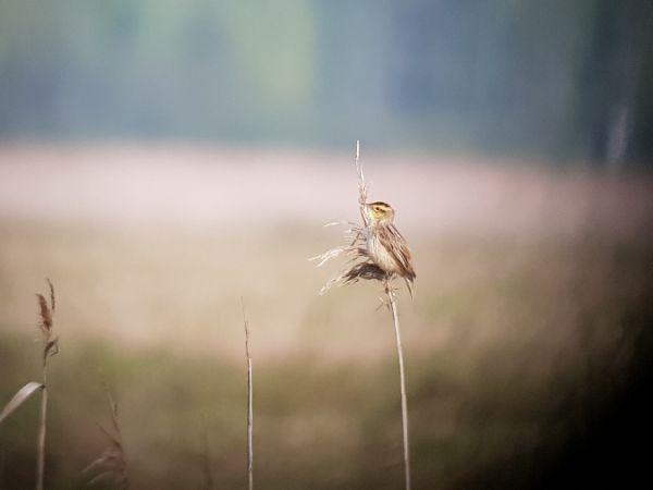 Aquatic Warbler  - Marcin Charymski
