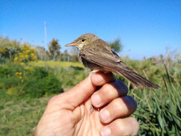 Eastern Olivaceous Warbler  - Irene Vertua