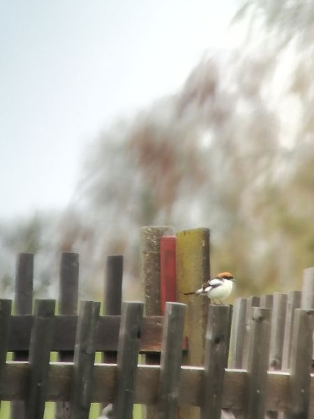 Woodchat Shrike  - Simon Kofler
