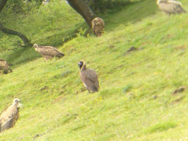 Eurasian Black Vulture  - Urko Ibañez
