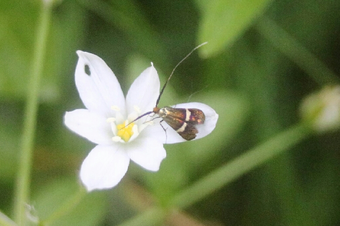 Adela australis  - Gilles Rosier