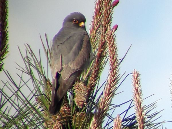 Red-footed Falcon  - Alexandre Hurtault