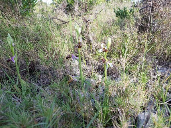 Ophrys corbariensis  - Pierre Brothier
