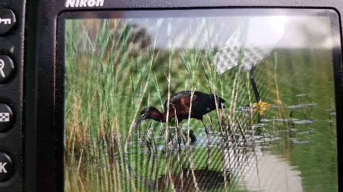 Glossy Ibis  - Franco Aresi
