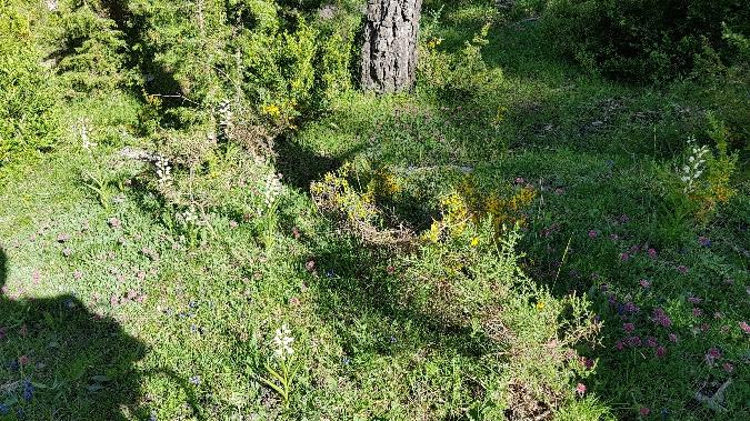 Cephalanthera longifolia  - Xavier Sanjuan Samarra