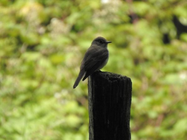 Spotted Flycatcher  - Alain Loperena