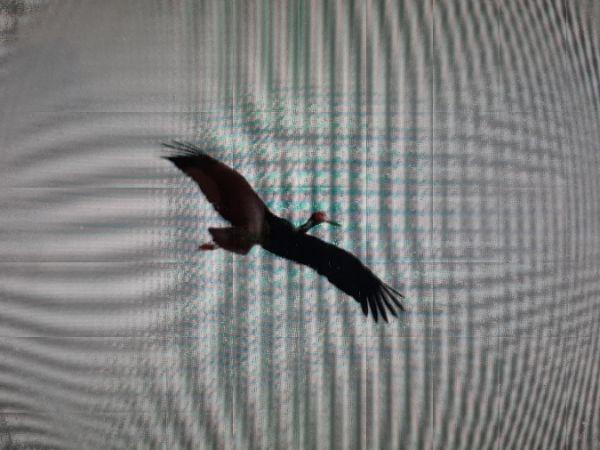 Cigogne noire  - Patrice Meniel
