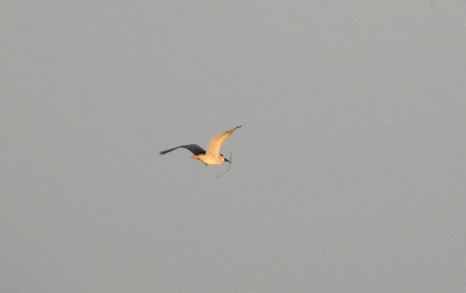 Black-crowned Night Heron  - Henryk Boronowski
