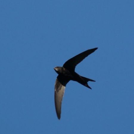 Common Swift  - Regula Ticar