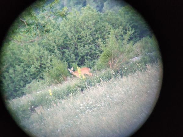 Roe Deer  - Andreu Duclau