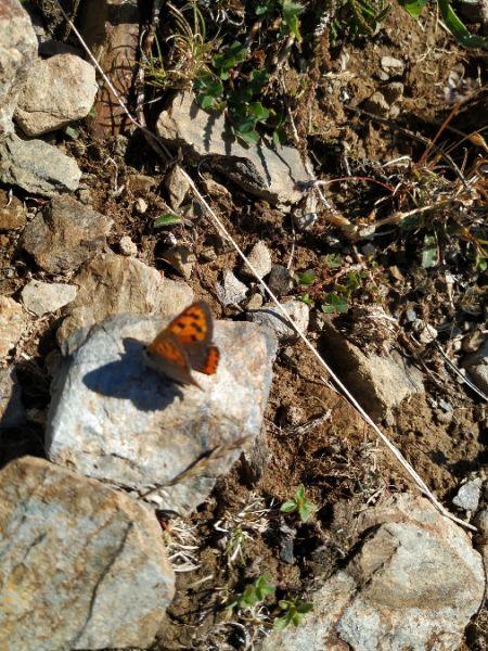 Small Copper  - Andreu Duclau