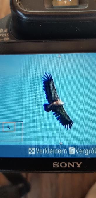 Griffon Vulture  - Urs Esslinger
