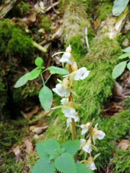 Epipogium aphyllum  - Alain Falvard (sfo Auvergne)