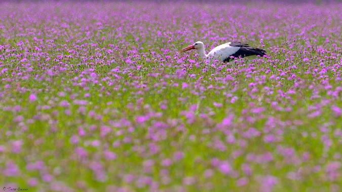 Cigogne blanche  - David Cousson