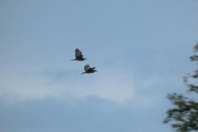 Black-crowned Night Heron  - Łukasz Cudziło