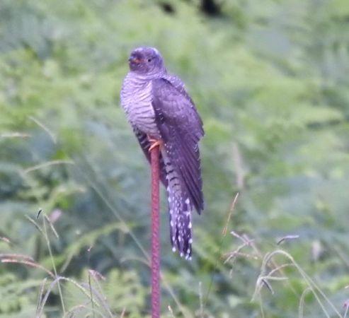 Common Cuckoo  - Aitor Urrutia