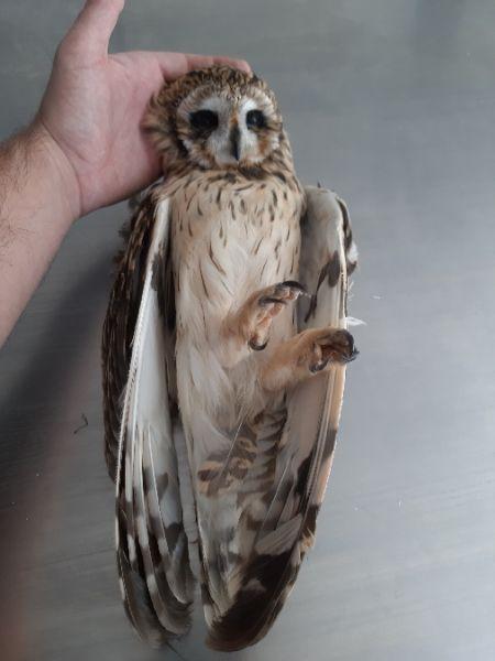 Short-eared Owl  - Mikel Salvador