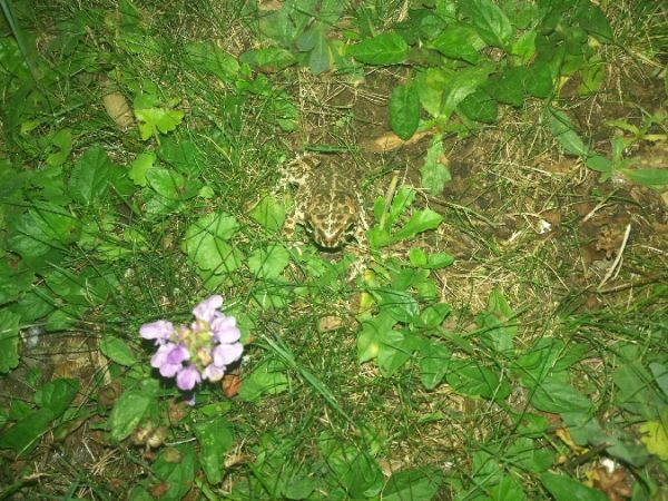 Green Toad (all species)  - Stefano Lapadula