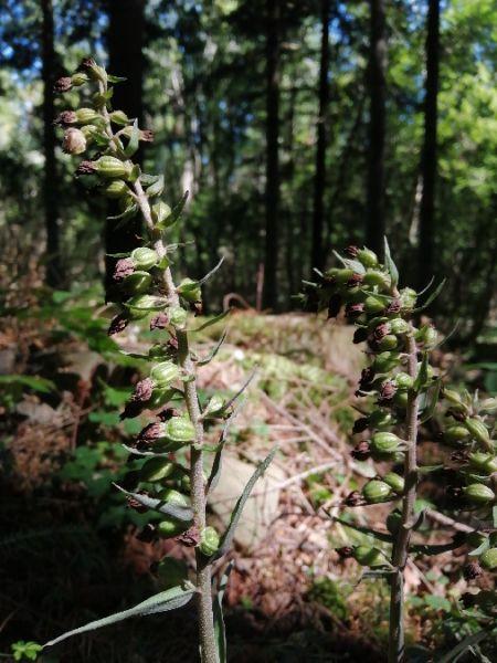 Epipactis purpurata  - Alain Falvard (sfo Auvergne)