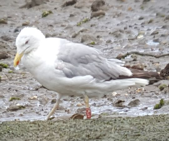 Cantabric Yellow-legged Gull  - Bertrand Lamothe