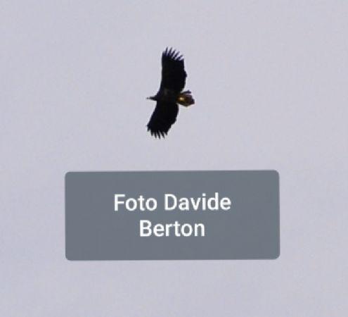 White-tailed Eagle  - Giuseppe Tormen