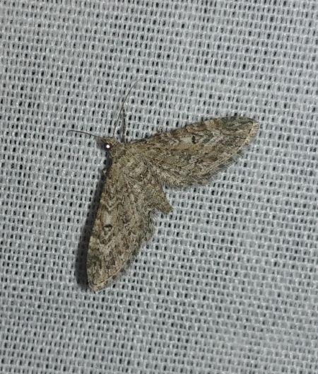 Eupithecia nanata