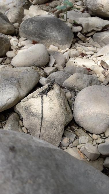 Common Wall Lizard  - Michele Coppola