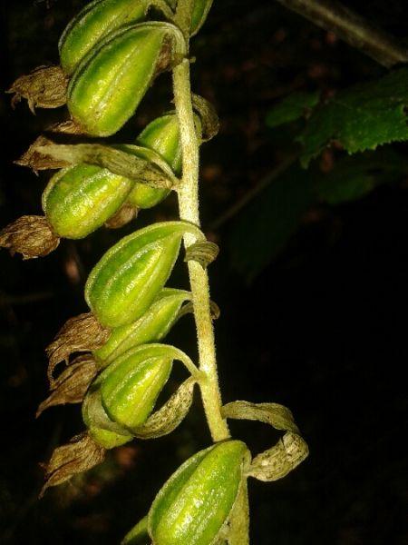 Epipactis leptochila  - Christophe Davée