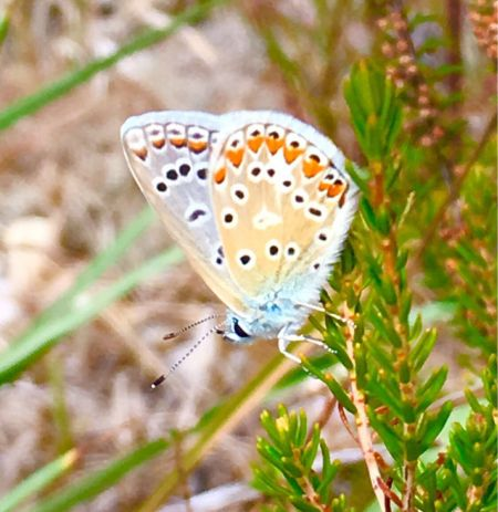 Common Blue  - Pascal Aleixandre