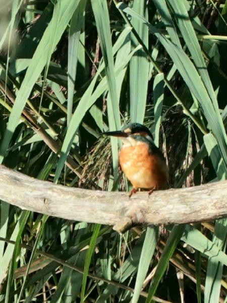 Common Kingfisher  - Regula Ticar