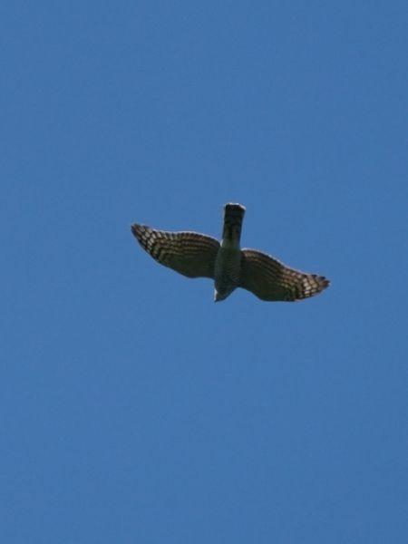 Eurasian Sparrowhawk  - Regula Ticar