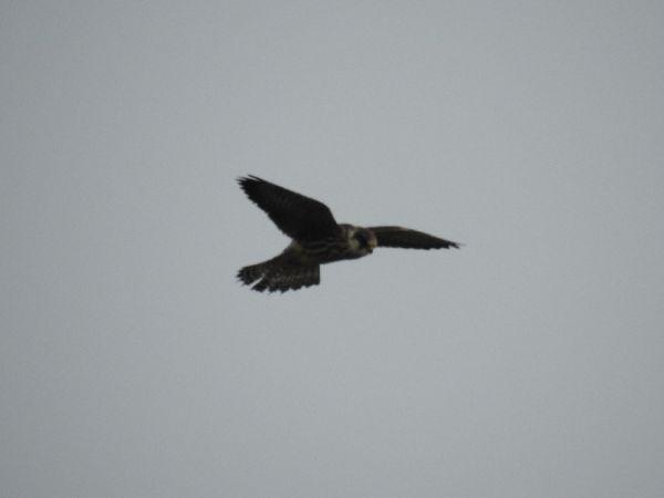 Red-footed Falcon  - Szymon Sendera
