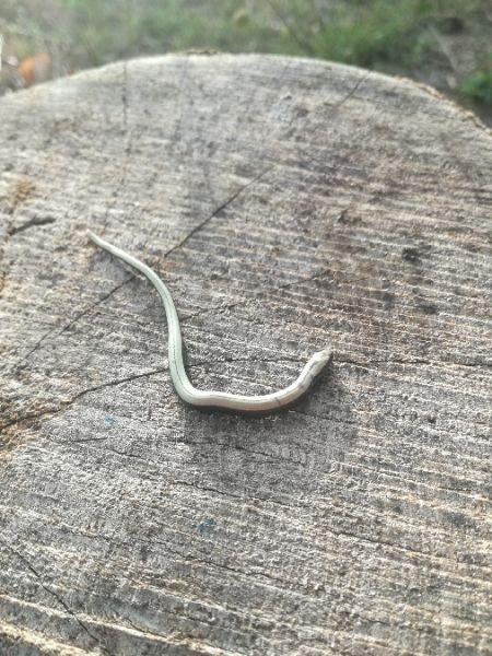 Western Slow Worm  - Iago Pérez_novo