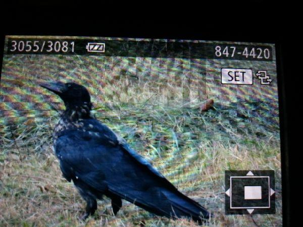 Carrion Crow  - Riccardo Tucci