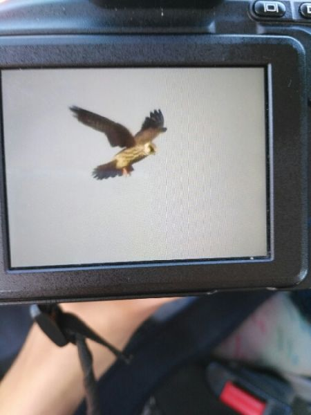 Red-footed Falcon  - Karolina Skorb
