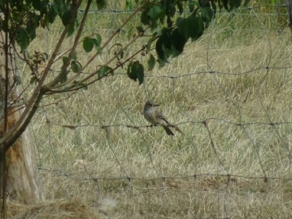 Spotted Flycatcher  - Elline Conti