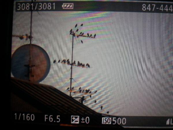 Common Starling  - Riccardo Tucci