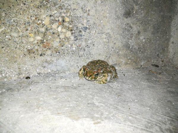 Green Toad (all species)  - Fausto Leandri