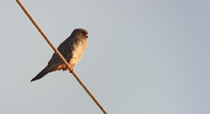 Red-footed Falcon  - Krzysztof Jankowski