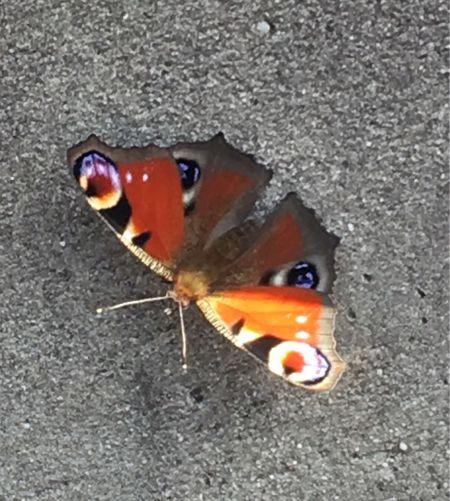 Peacock  - Pascal Aleixandre