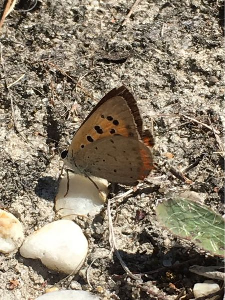 Small Copper  - Pascal Aleixandre