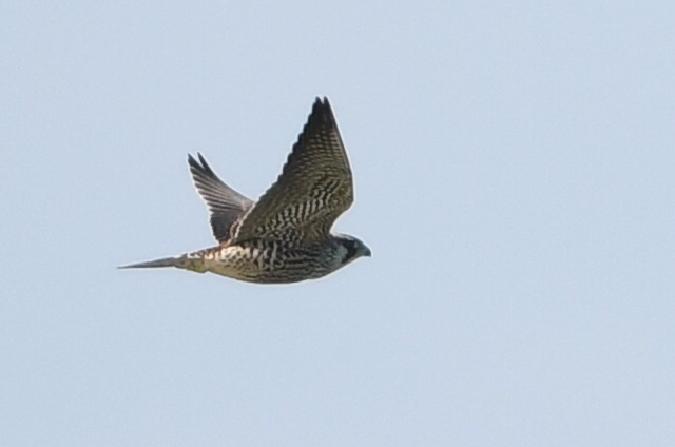 Peregrine Falcon (F.p.calidus)  - Marcin Sołowiej
