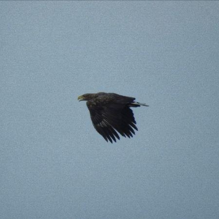 White-tailed Eagle  - Bernhard Deykowski