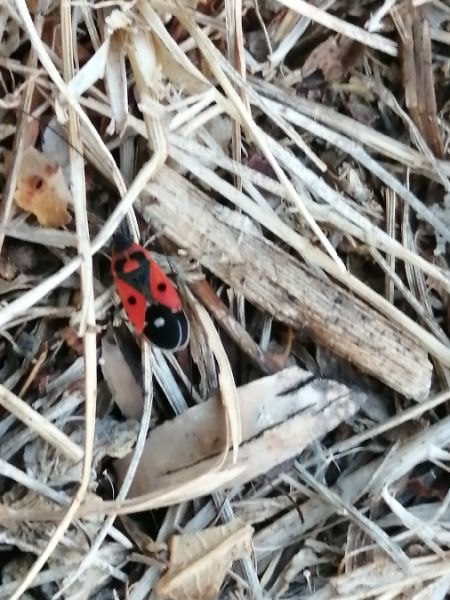 Melanocoryphus albomaculatus  - David Weinberg