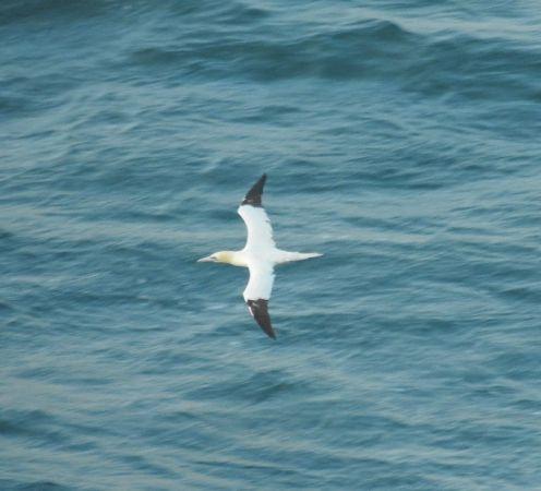 Northern Gannet  - Aitor Urrutia
