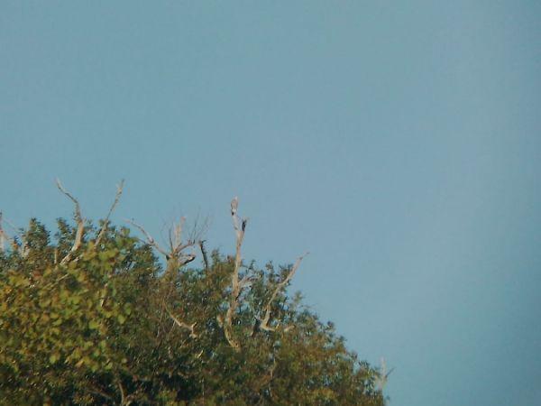 Black-winged Kite  - Mikel Salvador