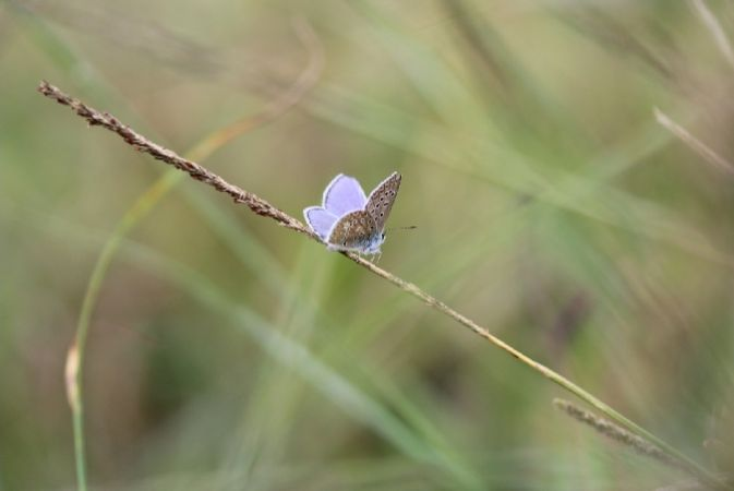 Common Blue  - Murielle Desrois
