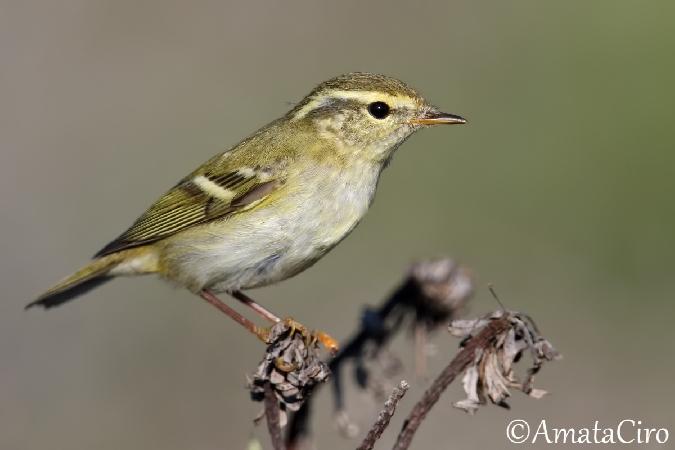 Yellow-browed Warbler  - Ciro Amata